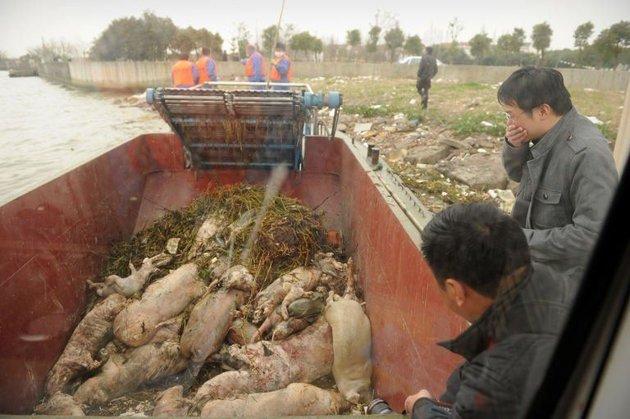 Plus de 13 000 porcs repêchés dans le fleuve de Shanghaï
